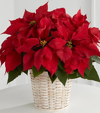 B13-3601_330x370 - red Poinsettia Basquet