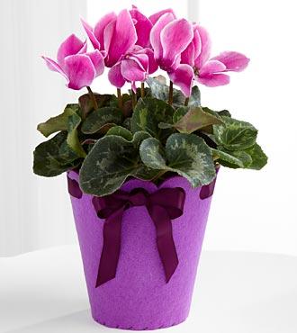PC05 - Lets celebrate birthday cyclamen plant
