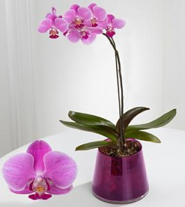 PO20 - Smithsonian majestic grace phalaenopsis orchid
